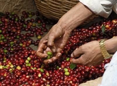 Nur reife rote Kirschen ergeben einen guten Kaffee